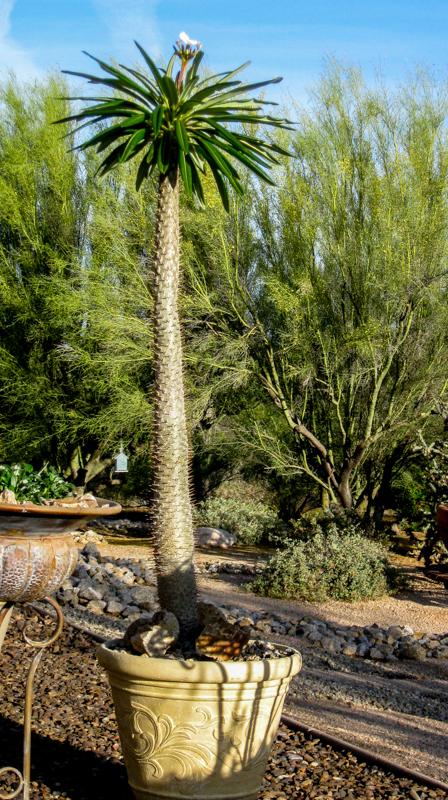 Madagascar Palm Spring 2015