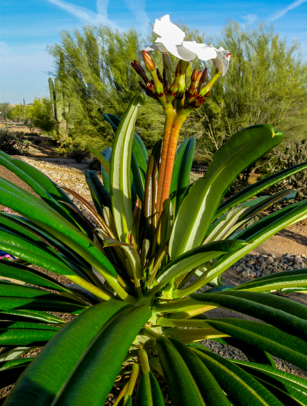 Madagascar Palm Spring 2015 with Flowers