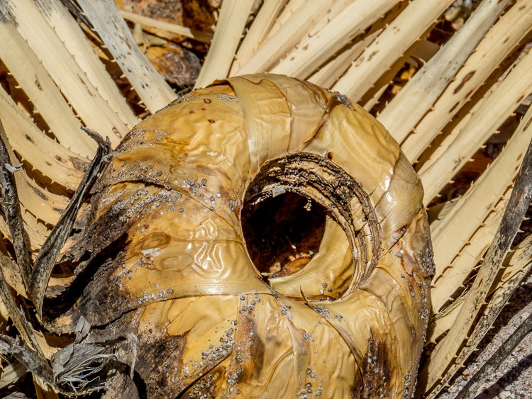 Part of a dead yucca