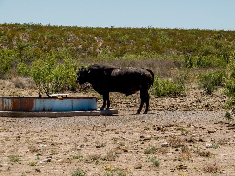 Thirsty bull drinking