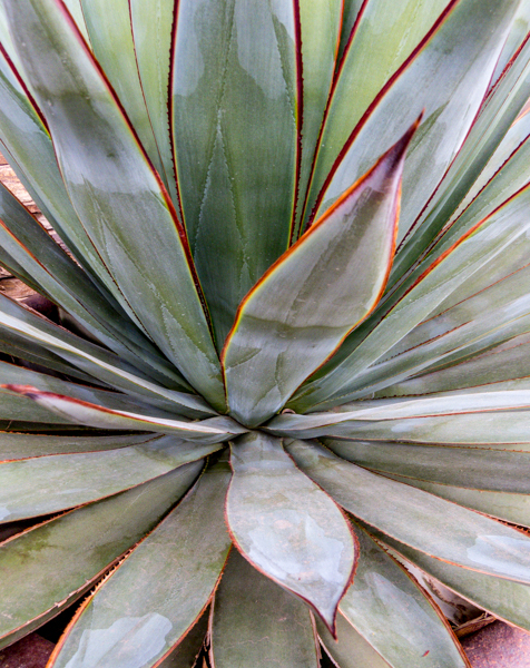 Agave with sharp edges and points