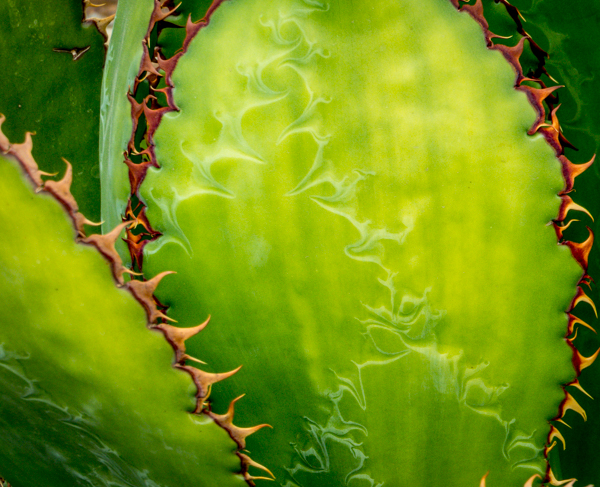 Pickle-colored agave with large Serrated Edges.