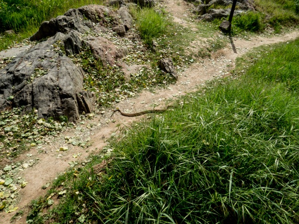TRattlesnake moving across the path