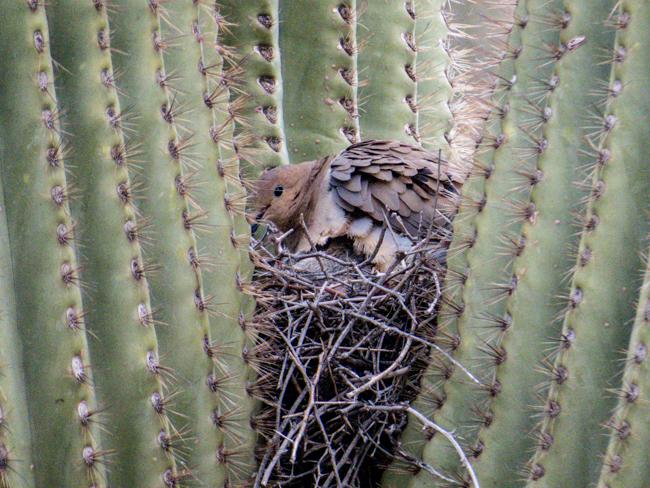 Mourning Dove in Saguaro Cactus Nest