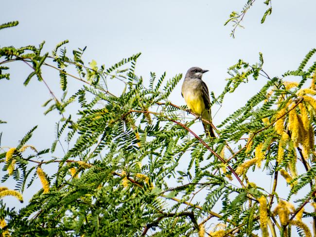 TCassin's Kingbird