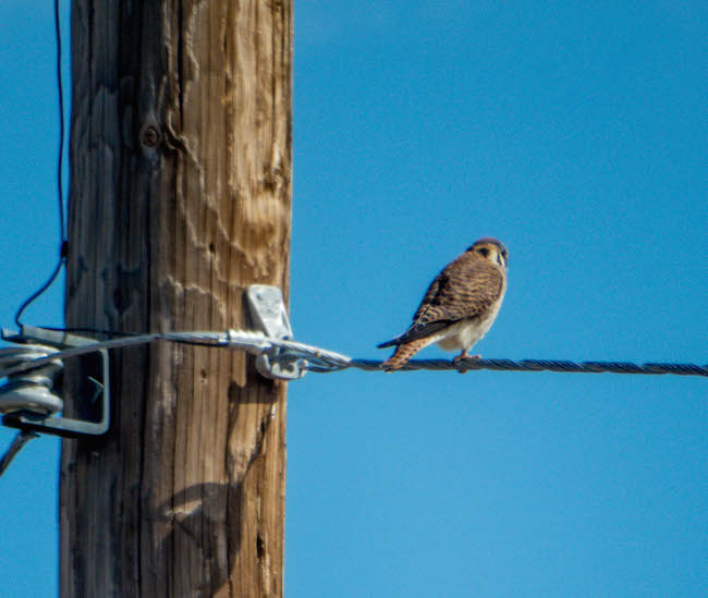 An American Kestrel, Cave Creek, AZ