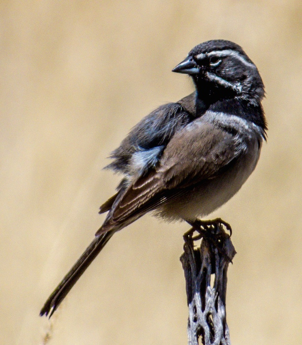 Black-throated_Sparrow