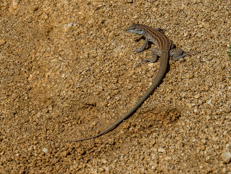 The Chihuahuan Spotted Whiptail (Aspidoscelis exsanguis)