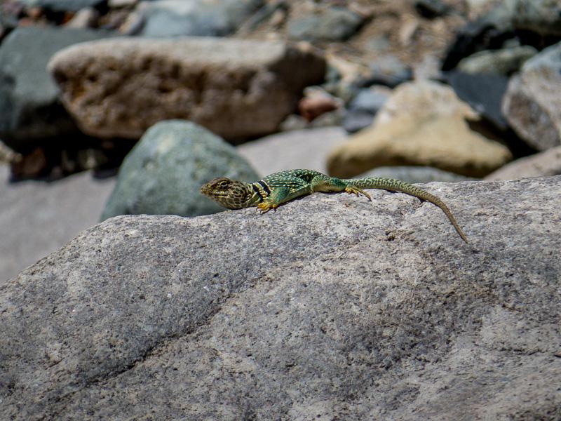 Eastern Collared Lizard Sunning
