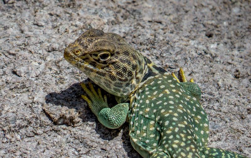 Eastern Collared Lizard Closeup