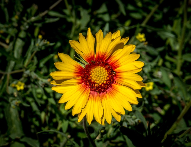 Indian Blanket Gallardia