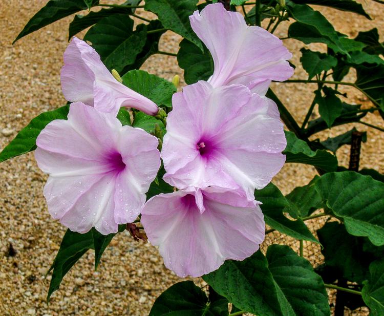 Ipomoea fistulosa cluster bloom