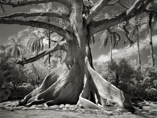 Kapok Tree,  Beth Moon, Ancient Trees: Portraits of Time