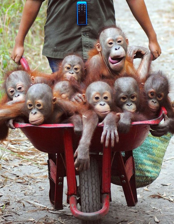 Baby orangutans on the way to school