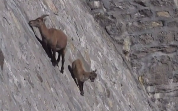 Alpine Ibex Crave Salt