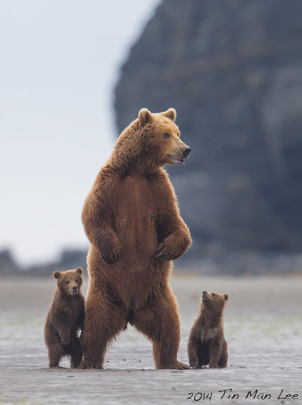 Mother bear stands as lookout for cubs