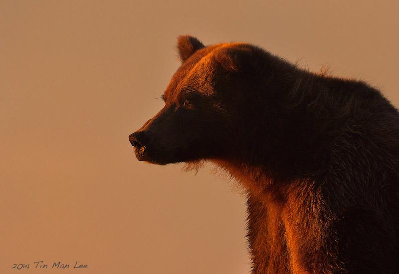 Beautfull, golden lit picture of an intense bear