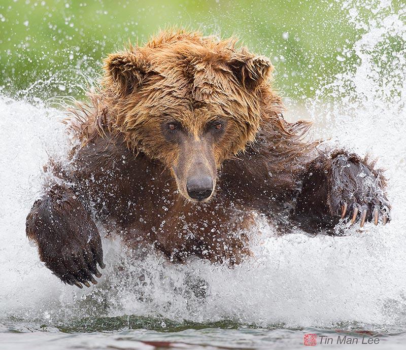 Powerful bear catching a salmon