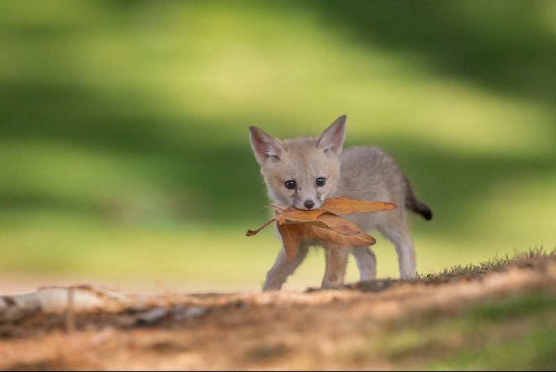 A young fox carrying leaves