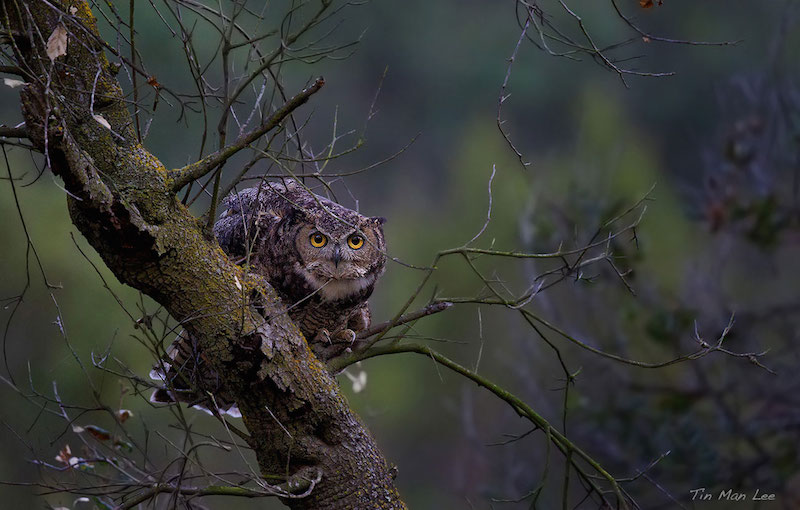 An Alert Great Horned Owl