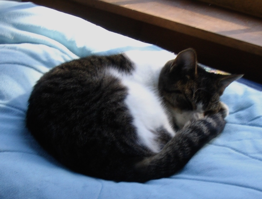 Kitty Carlise, our cat, napping