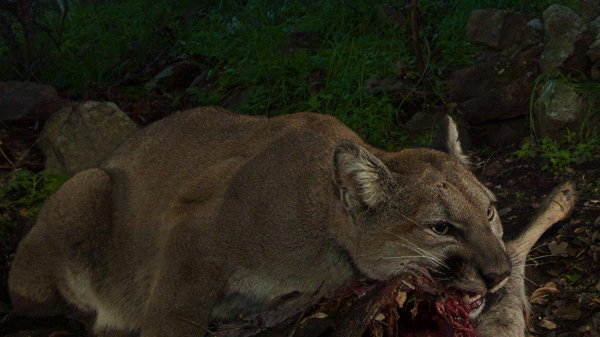 Mountain Lions feast on a Deer Carcass