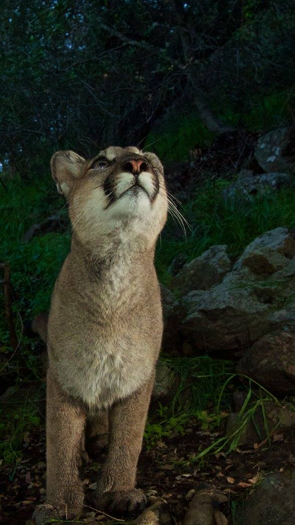 A Mountain Lion Looks Up at the Camera