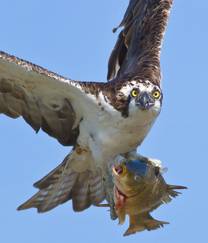 Osprey carrying a fish for dinner