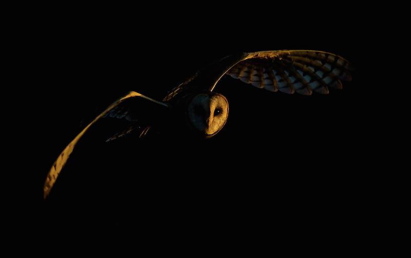 Remarkably lit owl
