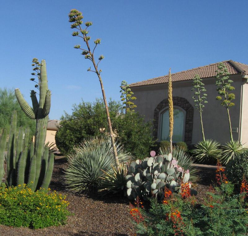 sotol among the agaves