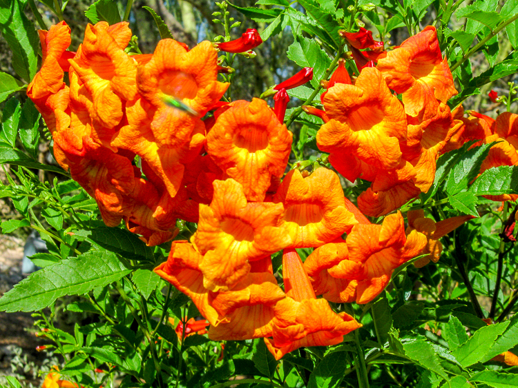 Tecoma - Orange Jubilee Closeup