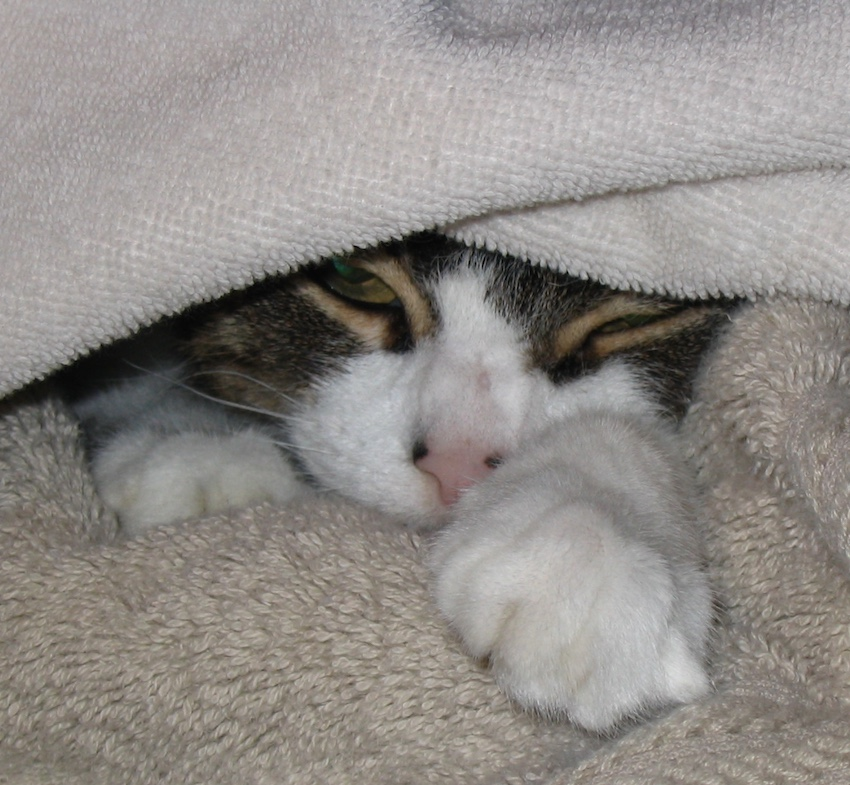 Kitty Carlisle under a warm towel straight from the dryer