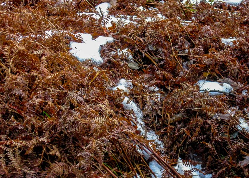 patterns of dead ferns against the snow