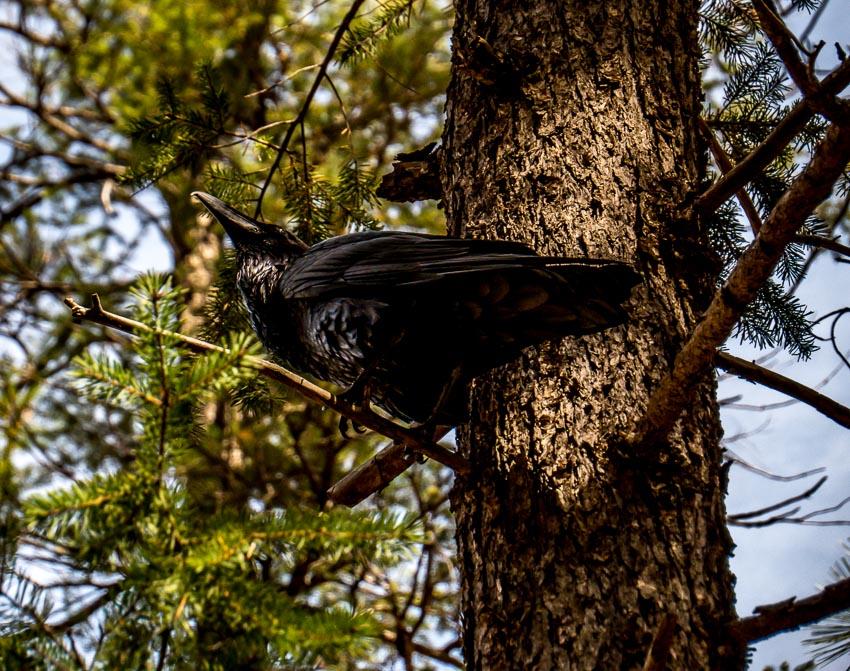 large crow