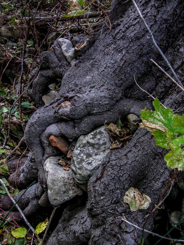 tree smothering rocks