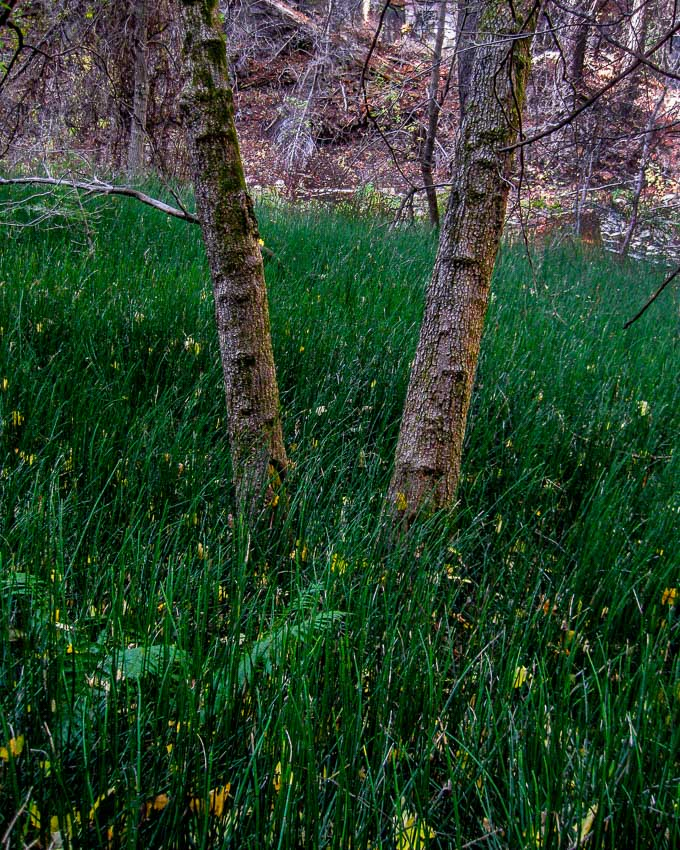 green horsetail grass meadow