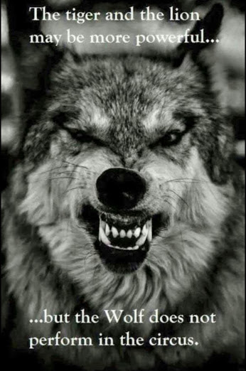 The tiger and the lion may be more powerful...but the Wolf does not perform in the circus.