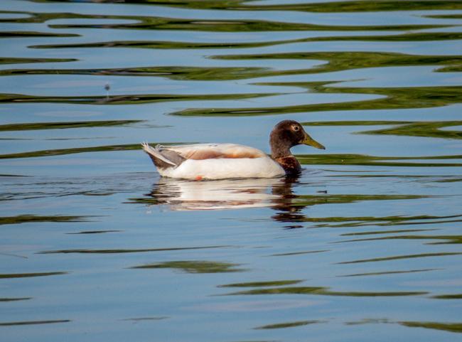 Mutt Duck