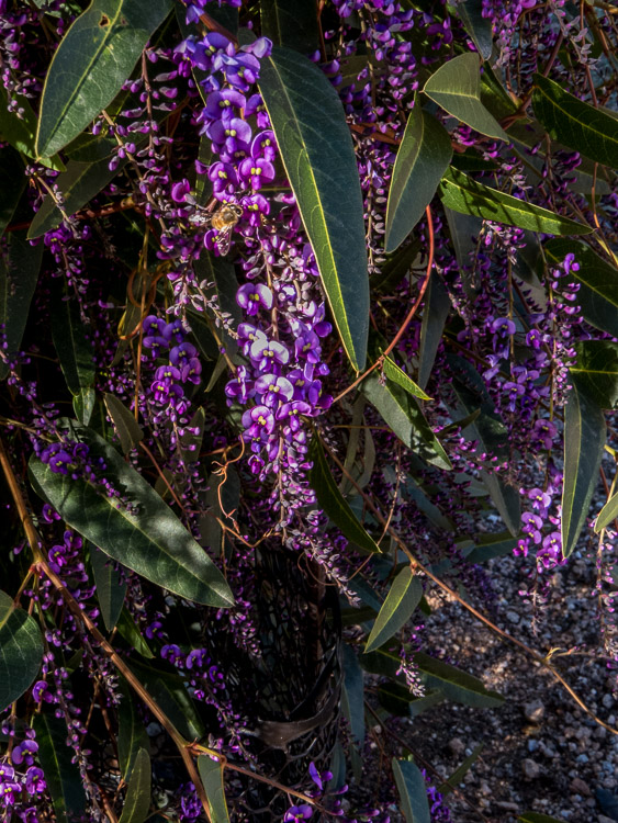 Late afternoon hardenbergia spray with beee
