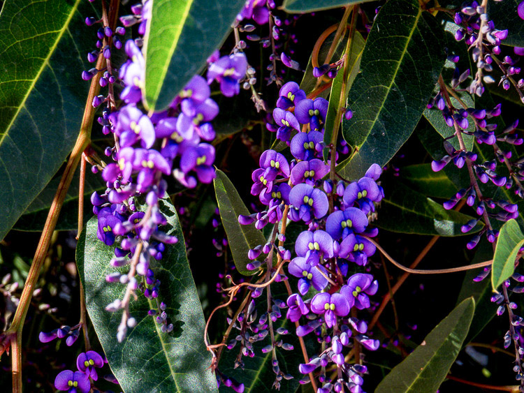 Another close view of the hardenbergia
