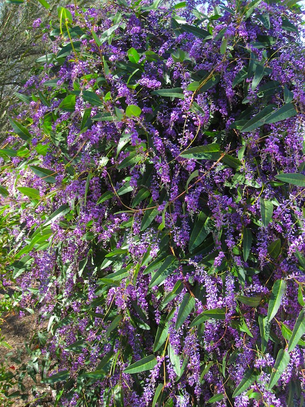 Full length picture of the hardenbergia vine; higher than six feet