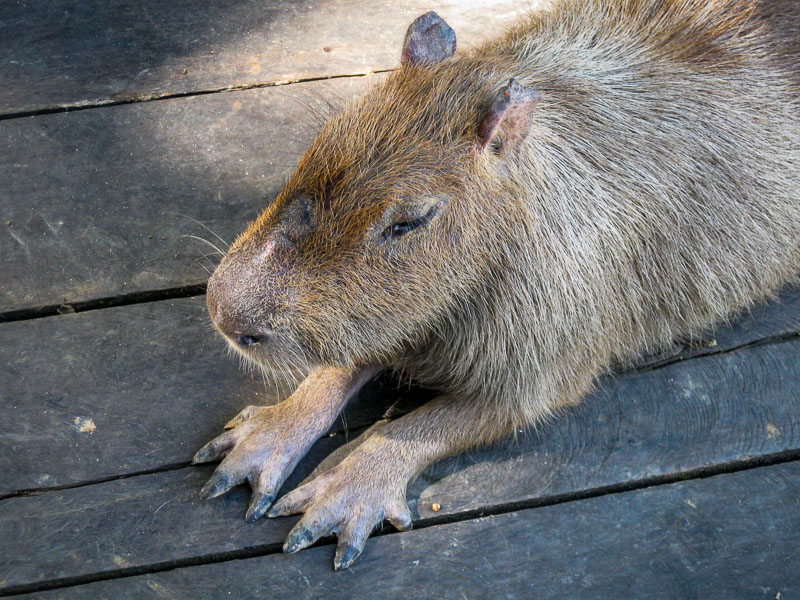 A pet Capybara in the Amazon
