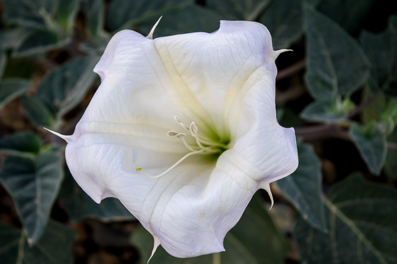 A Datura Flower, native desert plant