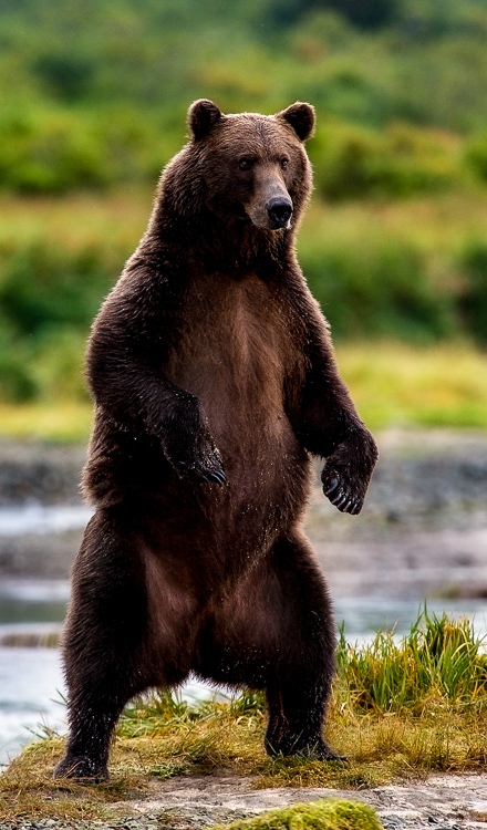 Standing coastal brown bear