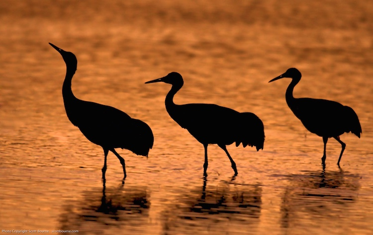Cranes at sunset at the Bosque