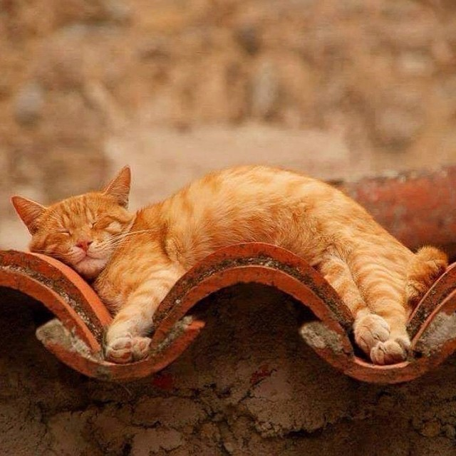 Cat Sleeping in the Curves of a Tiled Roof
