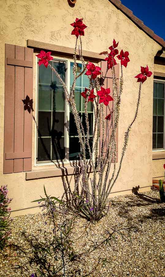 Ocotillo with Poinsettia leaves