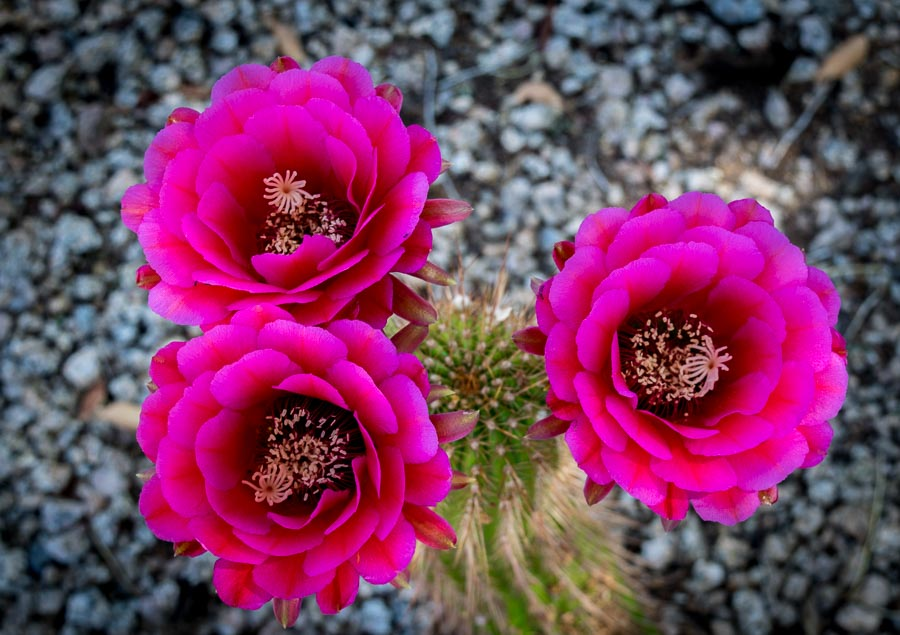 hot pink cactus flower
