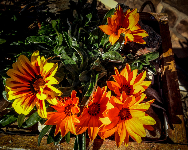 Orange Gazania in Bicycle Planter