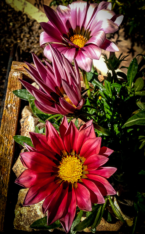Pink Gazania in Bicycle Planter